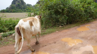 A cow taking the road less traveled in Myanmar :)